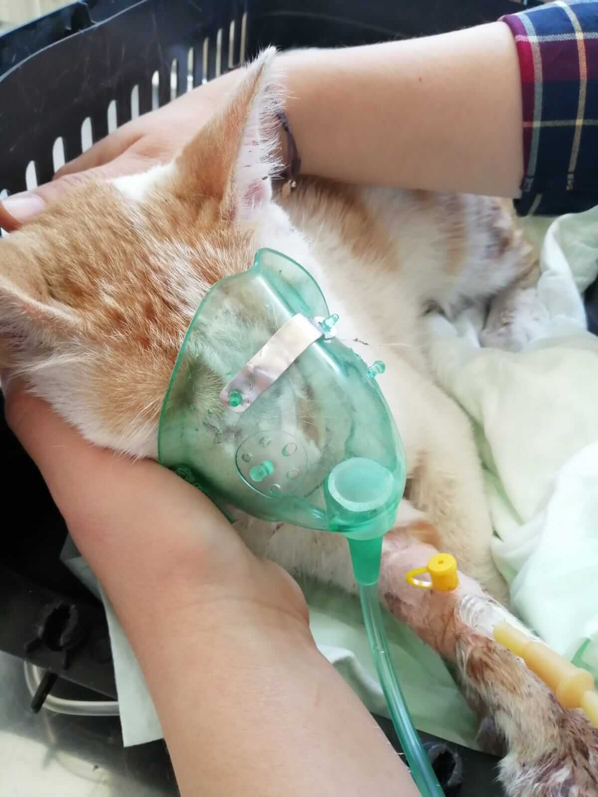 işkence gören kedi yaşam savaşı veriyor