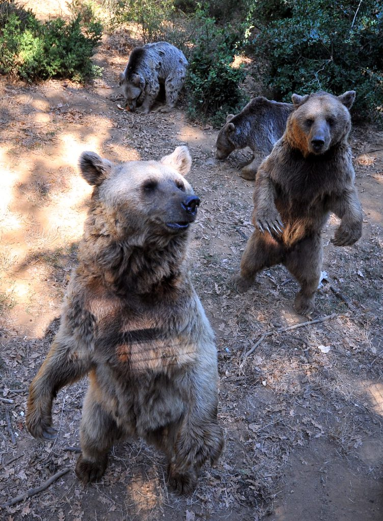 Yemek sırası bekleyen ayılar ayakları üzerinde duruyor