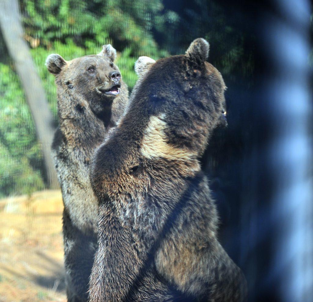 Ova Korusu Ayı barınağı sakini ayılardan bir resim