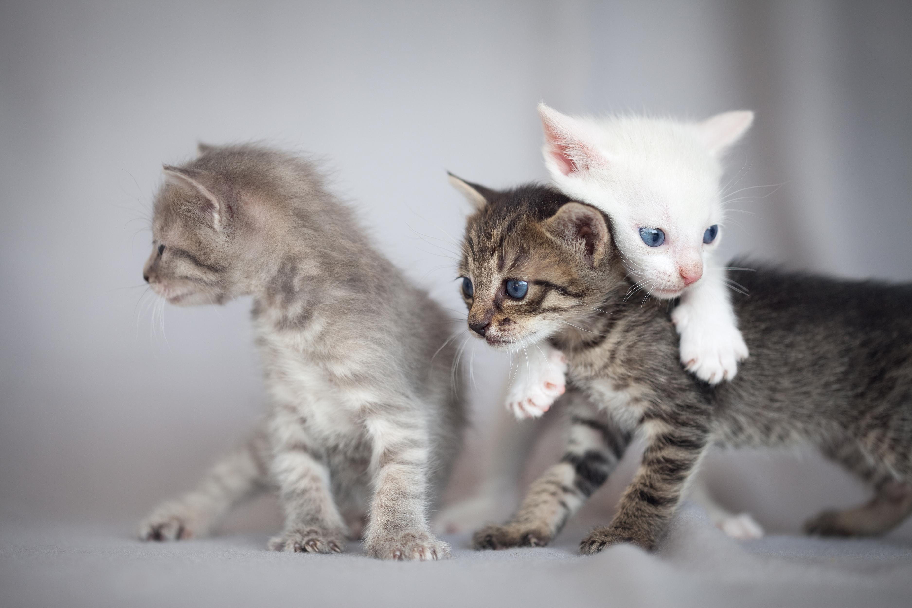 3 yavru kedi oynuyor