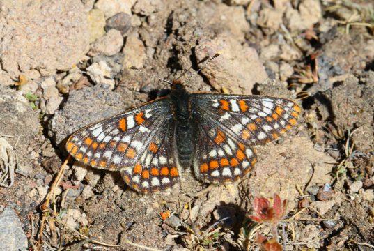 Kuzeyli Nazuğum kelebeğine yakın çekim