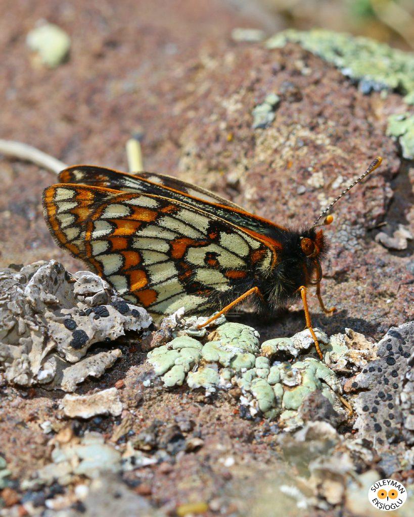 Kuzeyli Nazuğum kelebeğinin yandan resmi