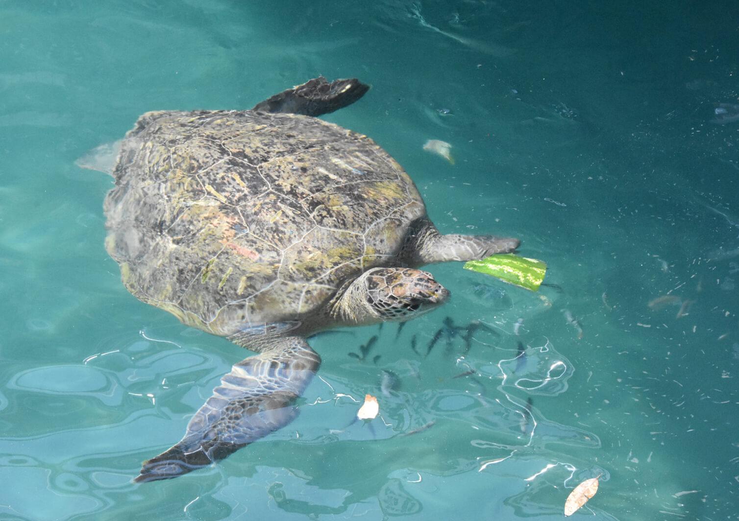 caretta carettalar beslenme için koya yüzüyor