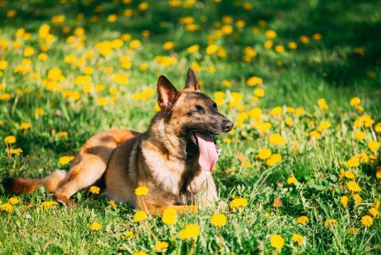 baharda çimlerde yatan çoban köpeği