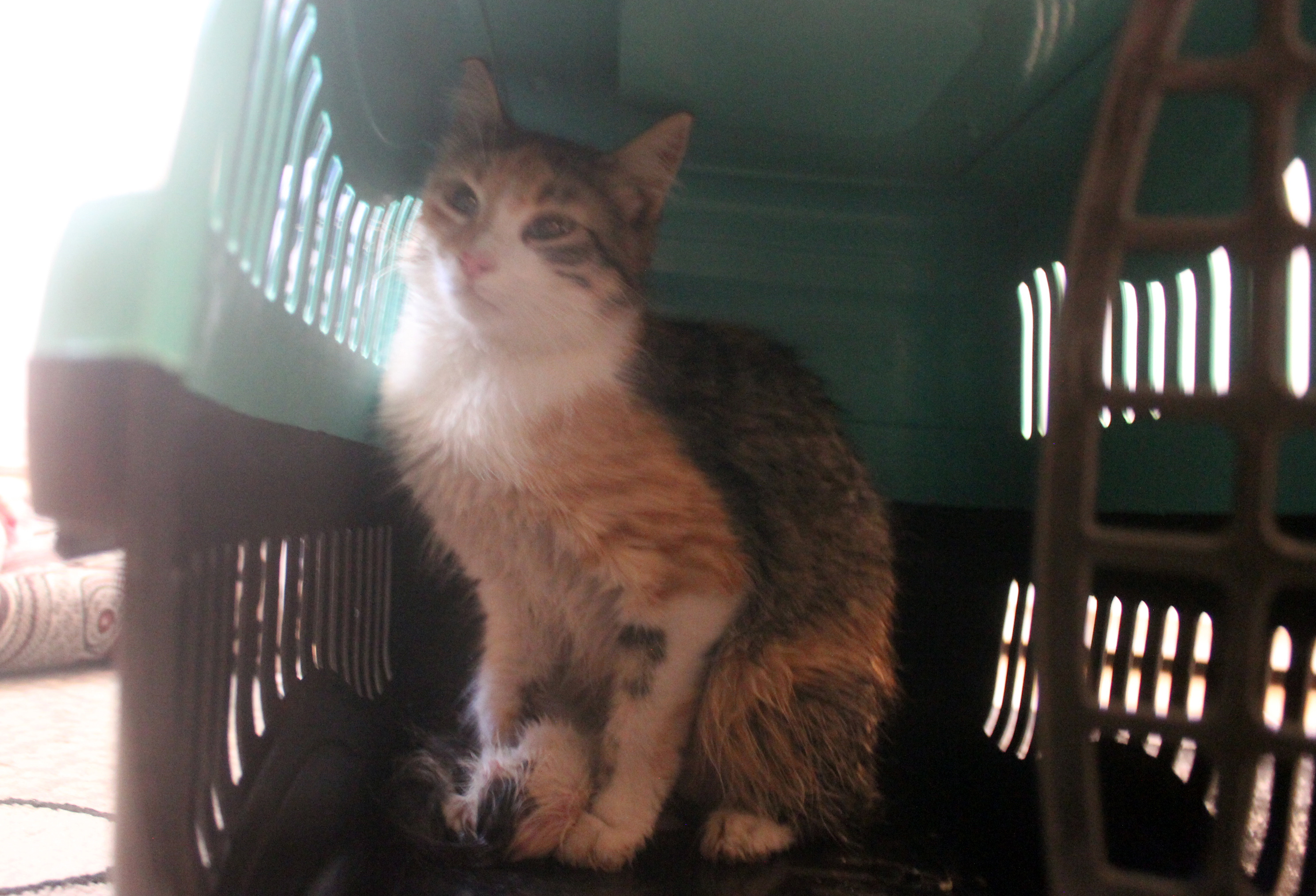 hayatta kalan yavru kedi süt anne ile buluştu
