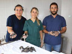 Samsun'da bulunan 112 ebabil yavrusunun yardımına gönüllü öğrenciler koştu