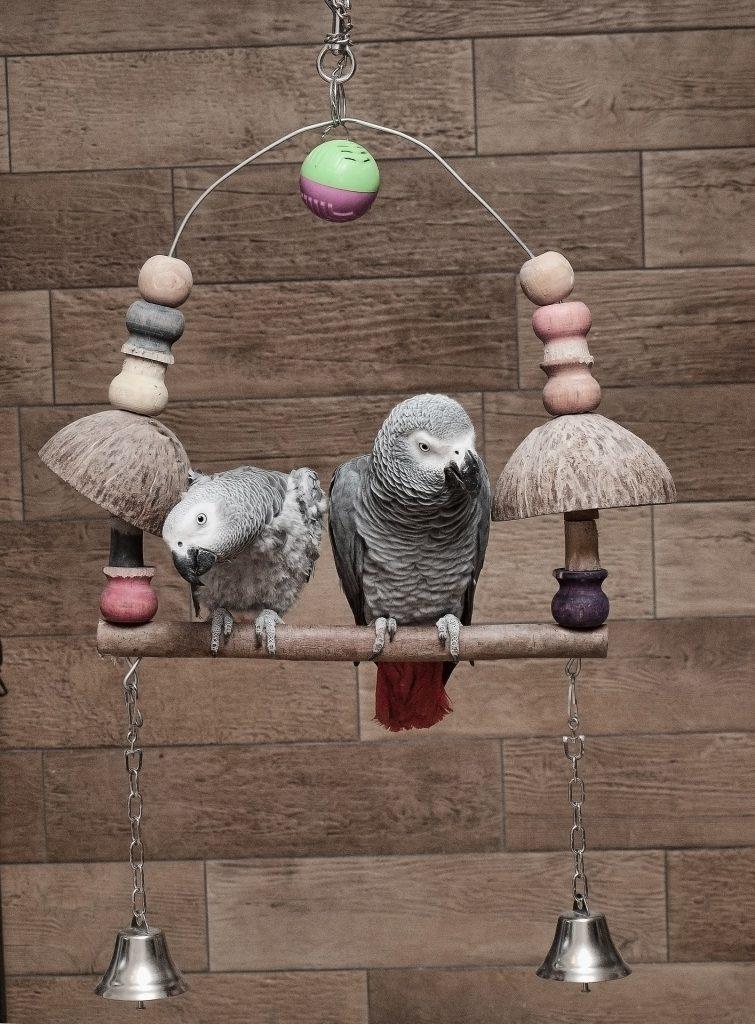 Hindistan cevizi kabuğu ile dekore edilmiş salıncakta oturan iki jako papağanı