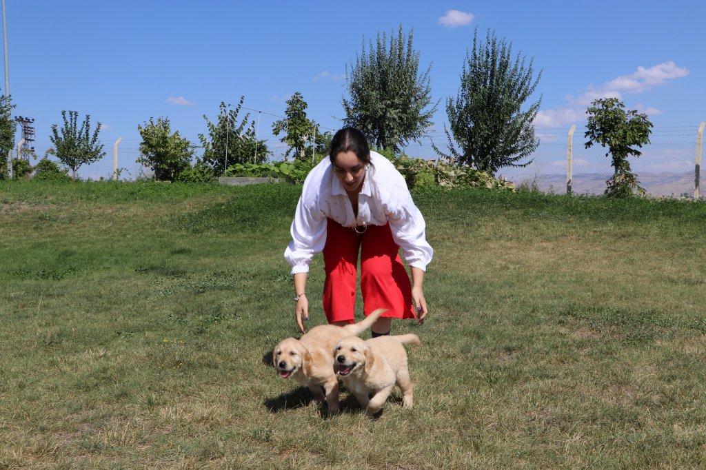 Eğitmenleriyle vakit geçiren rehber köpeği olmak için eğitim alan yavru köpekler
