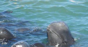 Korkudan birbirine yaklaşmış halde ölümü bekleyen pilot balinaları