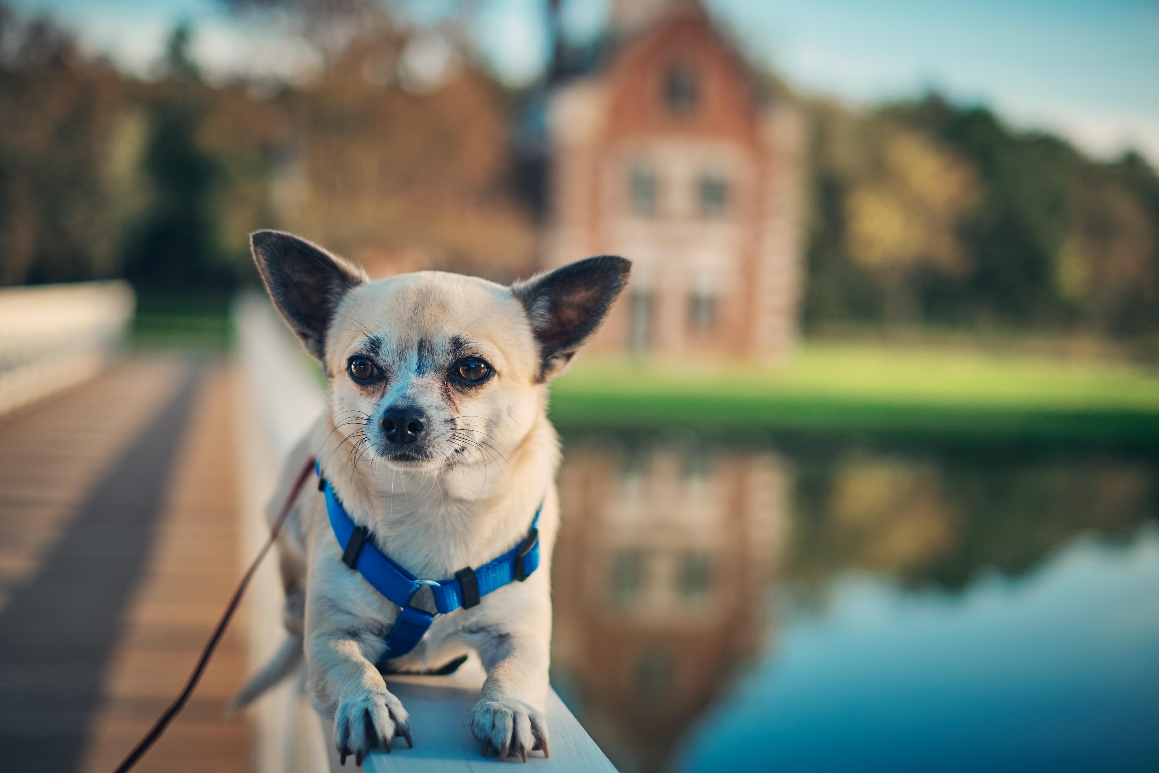 köprüde uzanan Chihuahua