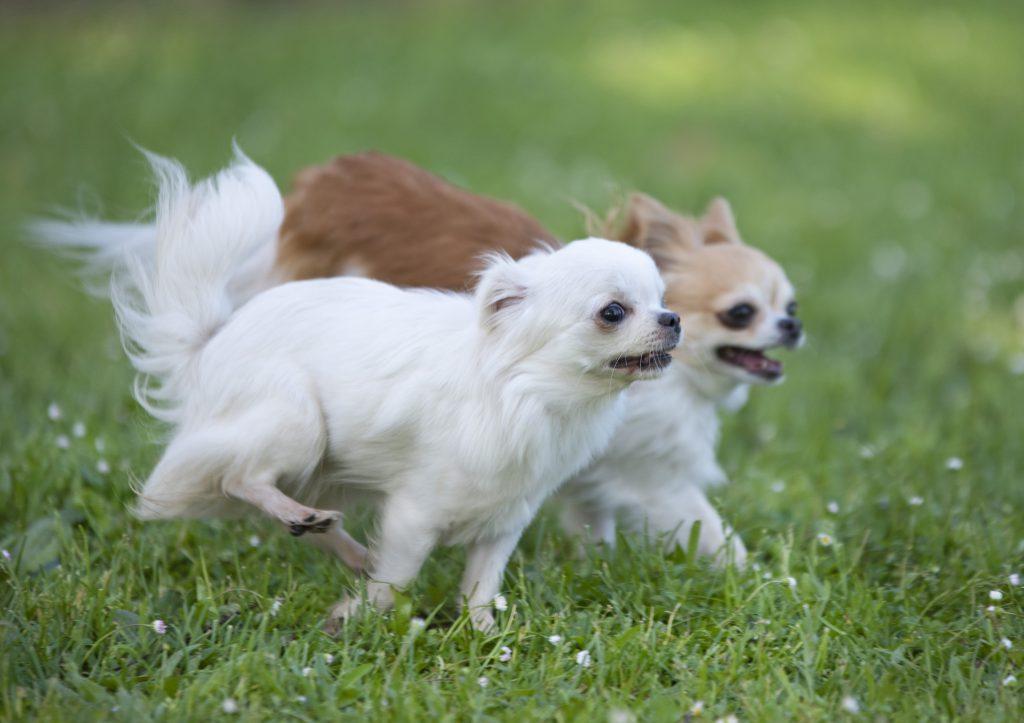bahçede oyun oynayan şivava cinsi köpekler