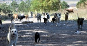 Edirne'de sokak hayvanlarının sayılarının azaldığı iddia edildi