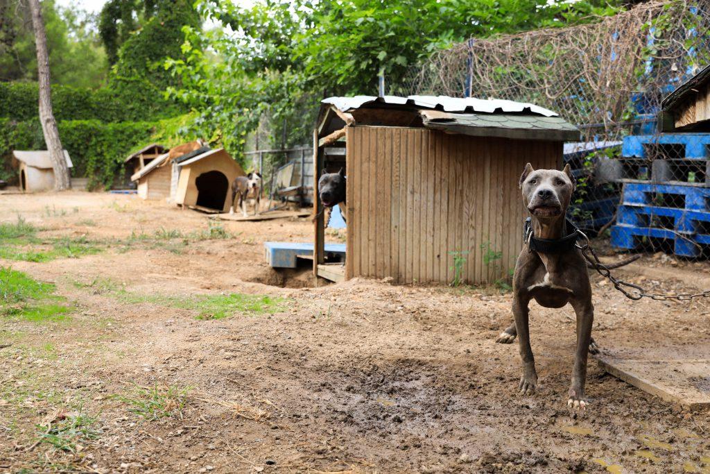 Pitbull cinsi köpeklerin yaşama hakkı yok mu?