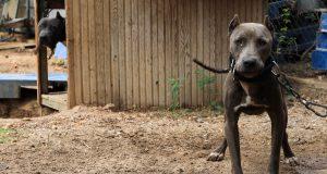 Yasaklı cins köpeklerin barınaklara kapatılması bir çözüm değildir