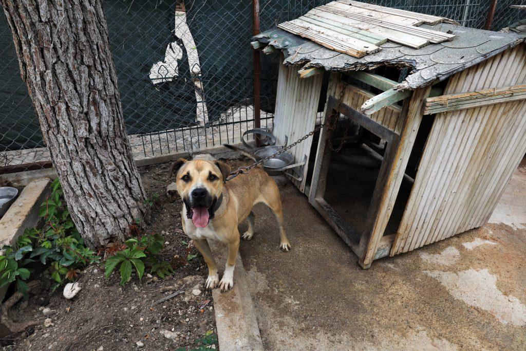 kameraya doğru bakan yuvasına bağlı yaşamak zorunda bırakılan bir pitbull cinsi köpek