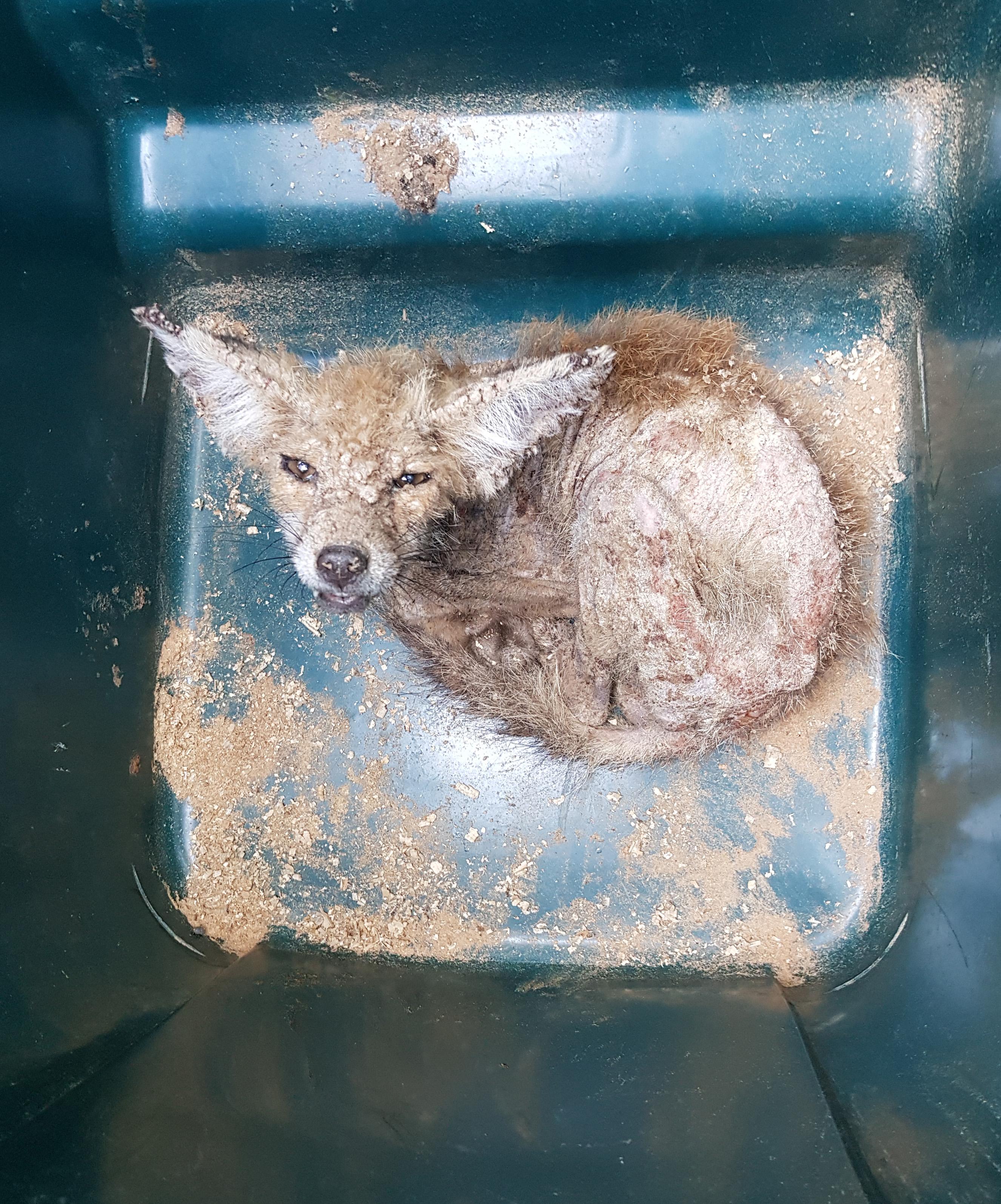 Yavru tilki, tedavi edilebilmesi için yakalandı