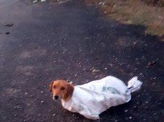 hamile köpek kurtarıldı