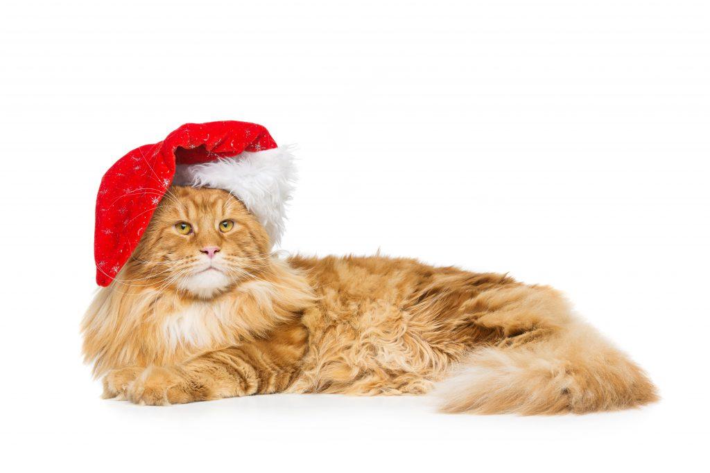 Maine coon kedisi yılbaşı şapkası ile poz vermiş