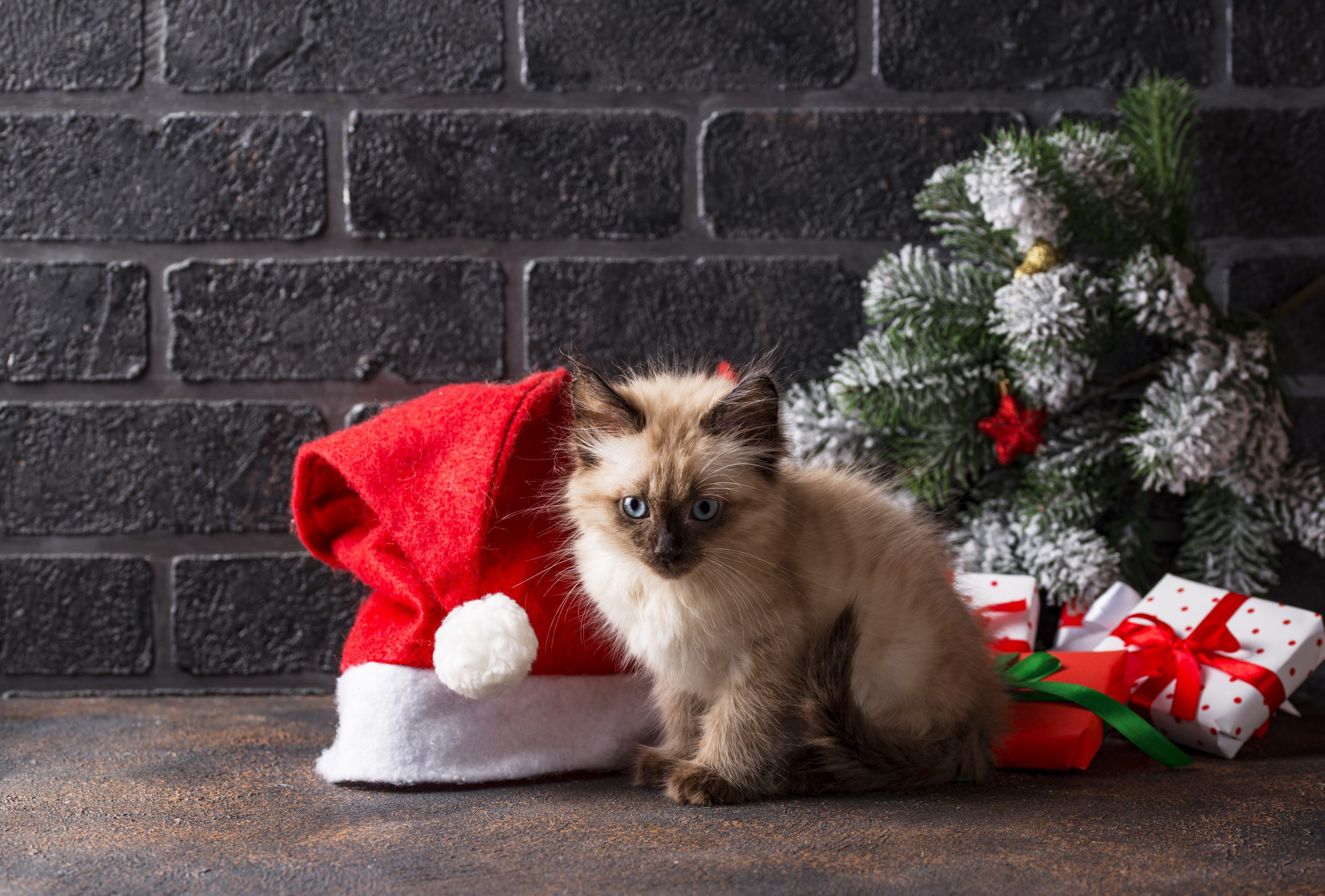 yılbaşı şapkası ve ağacı önünde duran yavru kedi